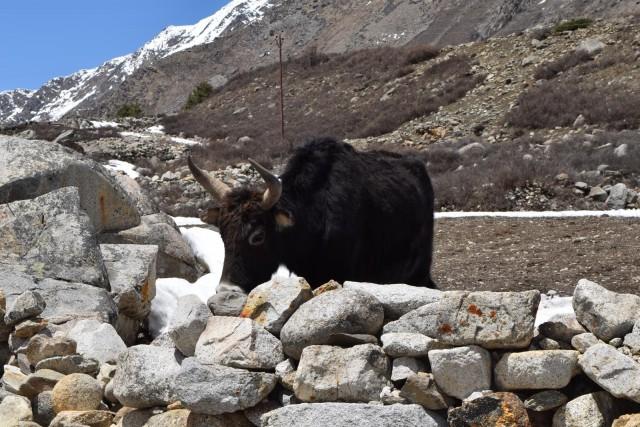 おっかない声で唸りながら近づいてきた顔の怖い牛(石壁のお陰で助かった・・)