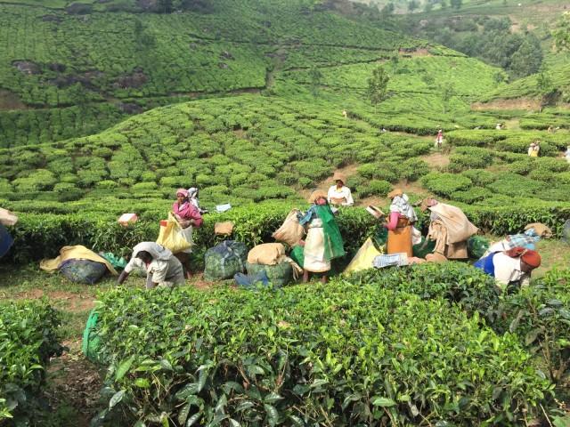茶畑で働く人達(実はほとんどが隣の州から出稼ぎで来ているらしい)