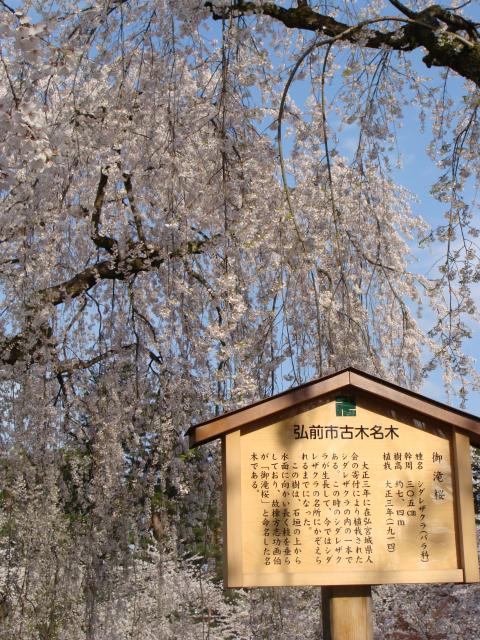 桜祭り2009 シダレザクラ