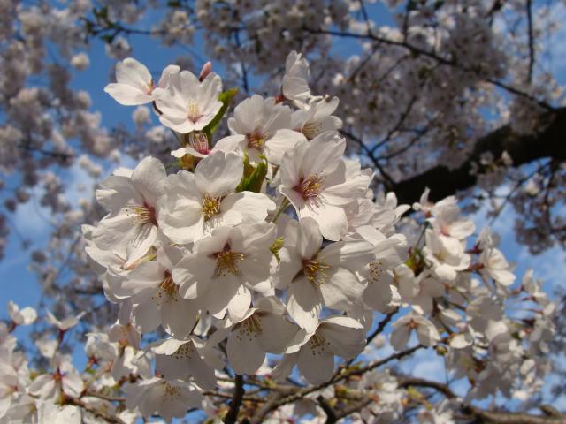 桜祭り2009 桜のアップ